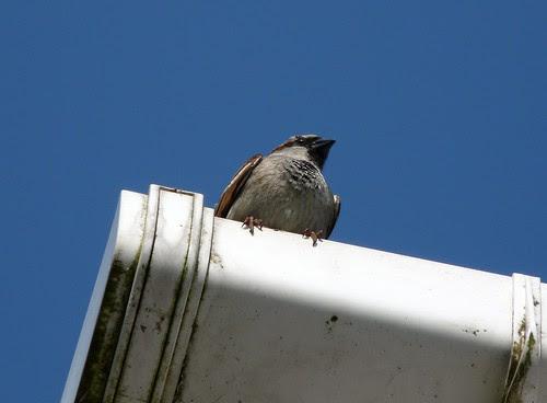 12248 - House Sparrow