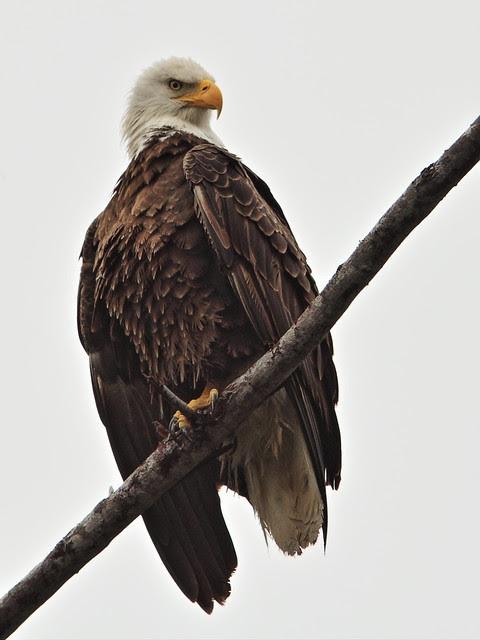 Bald Eagle female 5-20140207