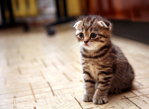 The 10 Most Adorable Cat Breeds As Kittens