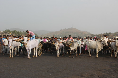 Bullock Cart Race Murud Janjira 2013 by firoze shakir photographerno1