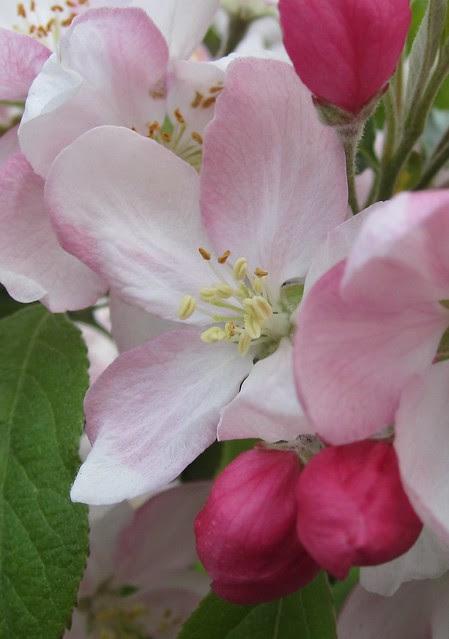 Flowering Paradise Apple