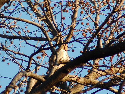Red-Tailed Hawk in Central Park's North Woods