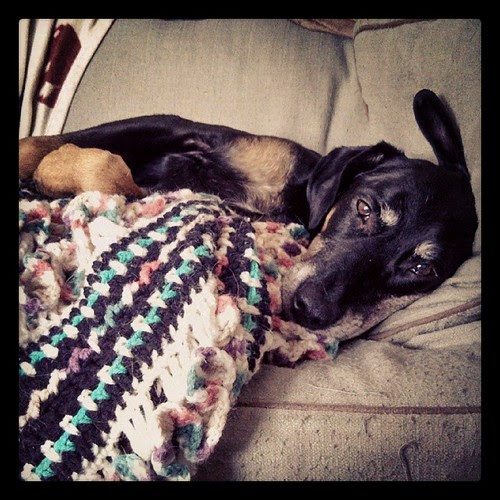 She hasn't moved... #lazySunday #dogstagram #dobermanmix