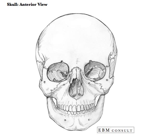 Anatomy: Skull Anterior Bone View