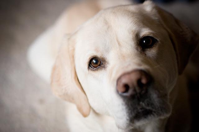 Bailey Blonde Labrador Retriever