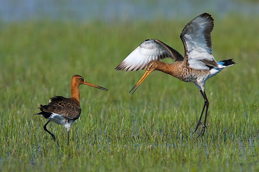 New splits on the horizon: Black-tailed Godwit to be split into three species?
