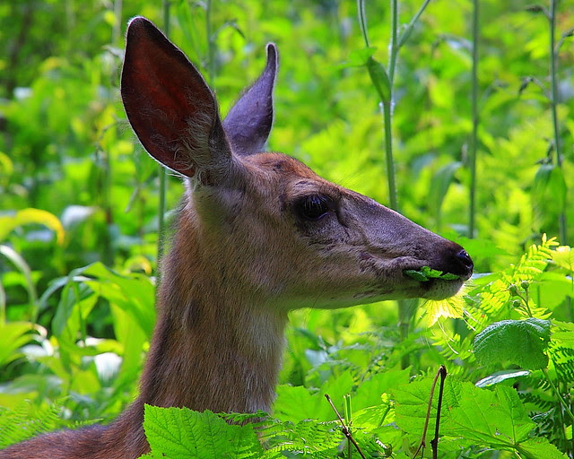 IMG_2491 Mule Deer, Avalanche Lake Trail