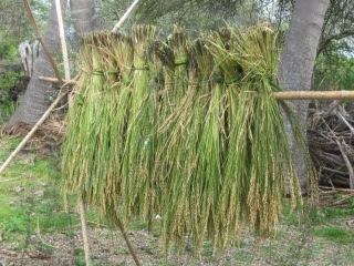 稲刈りのJPG