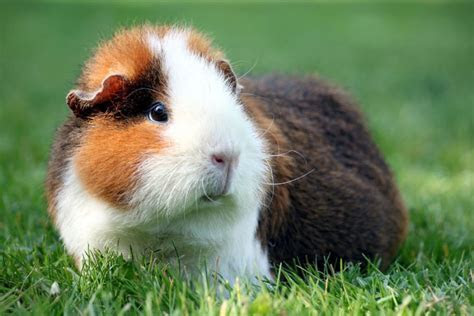 How to Deal With Common Problems in Guinea Pigs   Pets4Homes
