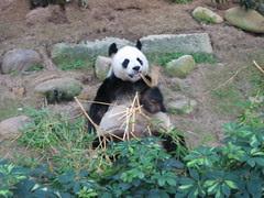 Panda munching