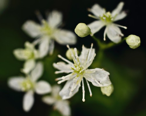 Wild Clematis (Clematis Vitalba)