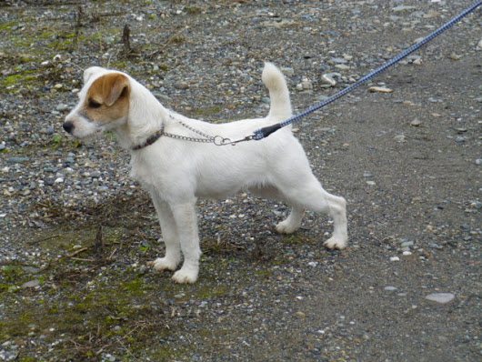 The Jack Russell Terrier Profile