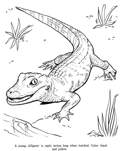 alligator drawing  coloring page coloring pages zoo