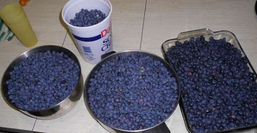 How to Grow Buckets Full of Blueberries at Home