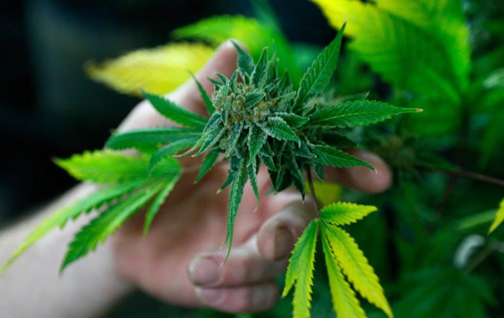 Cannabis passou a fazer parte da Lista Completa das Denominações Comuns Brasileiras (DCB)  (Foto: Reuters)