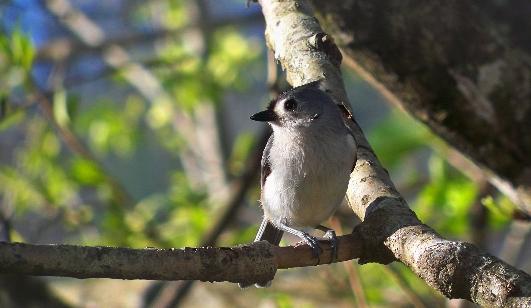 Tufted Titmouse by Bobby Coggins Click for larger image