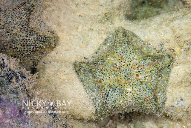 Cryptic Sea Star (Cryptasterina sp.) - DSC_6625