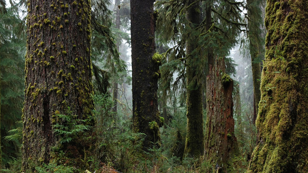 Trees, texture and fog Pacific Northwest Olympic National Park