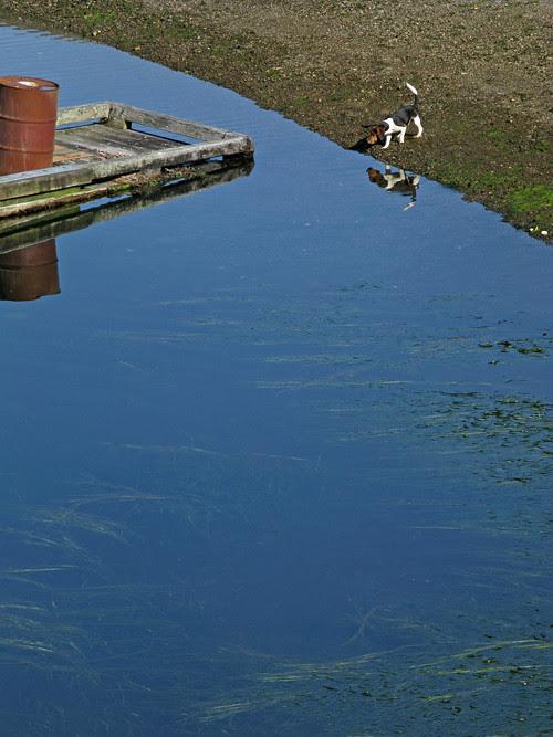 beagle at low tide, Kasaan, Alaska