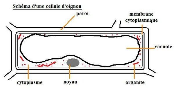 Esprit scientifique pourquoi les oignons font ils pleurer - Comment couper un oignon sans pleurer ...
