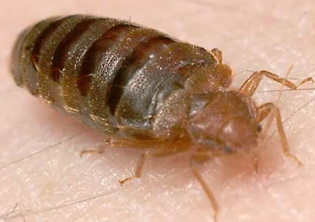 "Bed Bugs: Inspecting for the New ""House Herpes"" - Accurate Inspections of NWFL, LLC"