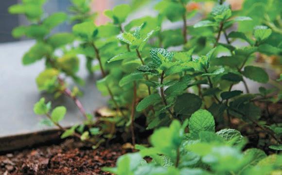 Conheça 9 plantas que atuam como repelentes naturais