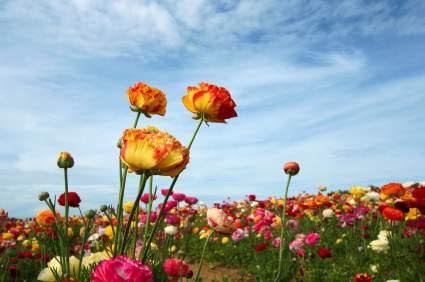 Carlsbad Flower Fields Ranunculus Buttercup Flower