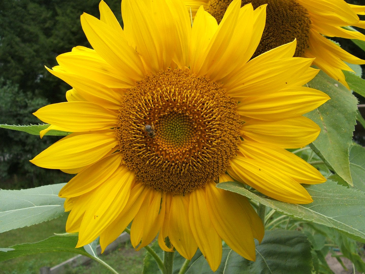Giant Gray Stripe Sunflower by Angie Ouellette-Tower for godsgrowinggarden.com photo 004_zps2eeb2037.jpg