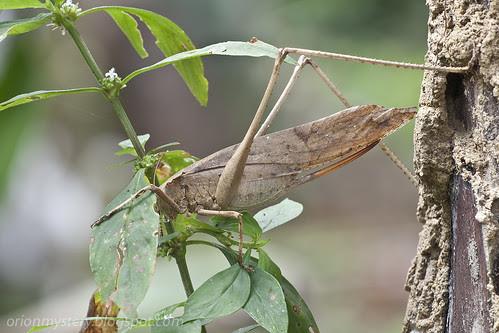 brown katydid, Mecopoda elongata IMG_4759 copy