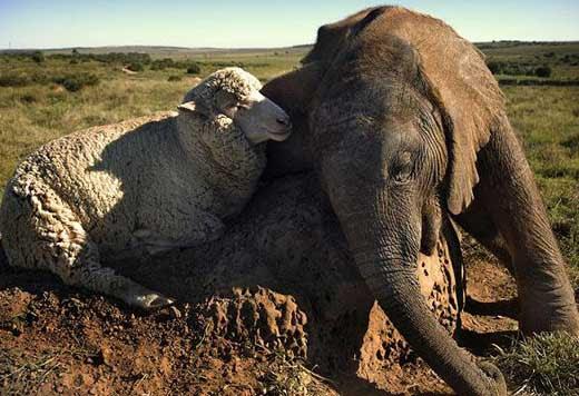 sheep-elephant