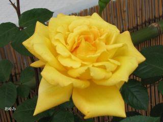 黄系の薔薇