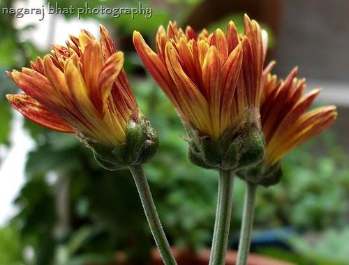 Flowers by Dehalli Nagaraj Bhat