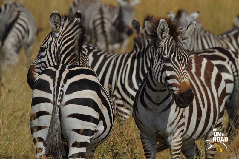 Zebra mania