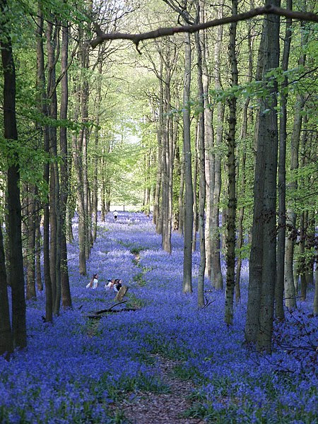 File:Bluebells-2005-05-02-2p.jpg