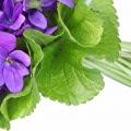 Folha de violeta