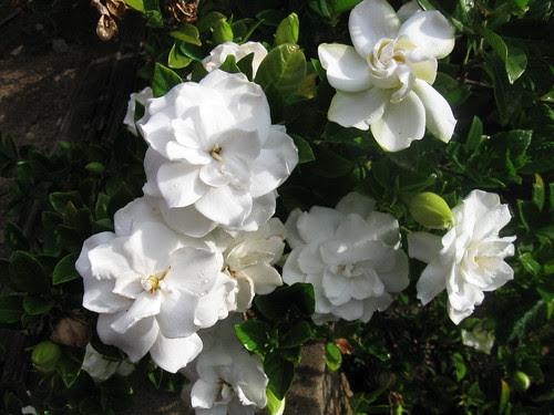 Gardenia 2013