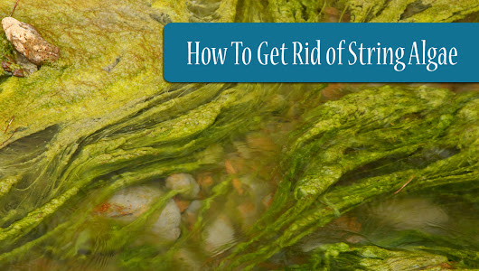 How To Get Rid of String Algae in Your Pond (For Good!)
