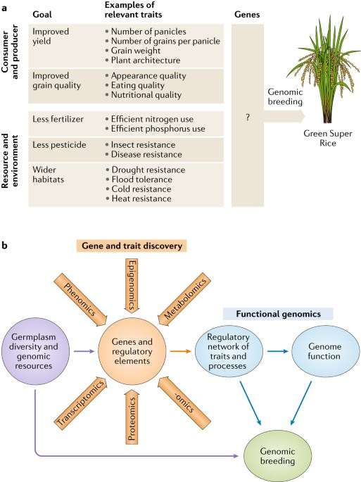 The rice genome revolution: from an ancient grain to Green Super Rice | Nature Reviews Genetics