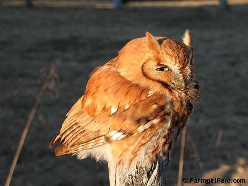 Screech Owl in the backyard 1-20-08 - Farmgirl Fare