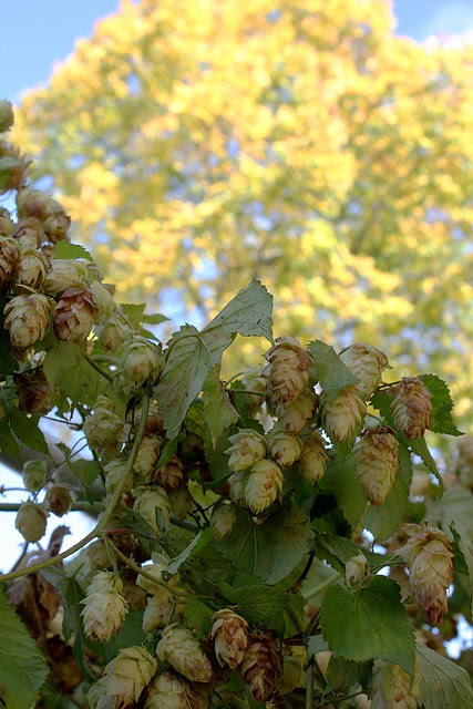 hops @ 2008 fresh hop festival, portland or
