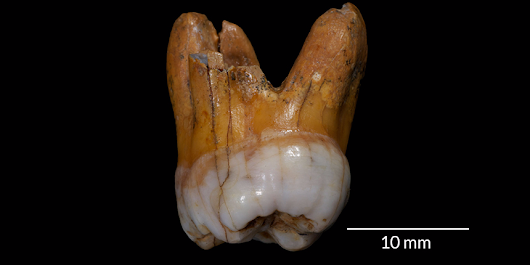 DNA from teeth discovered in Siberia suggest that an extinct human species lived there for 60,000 years