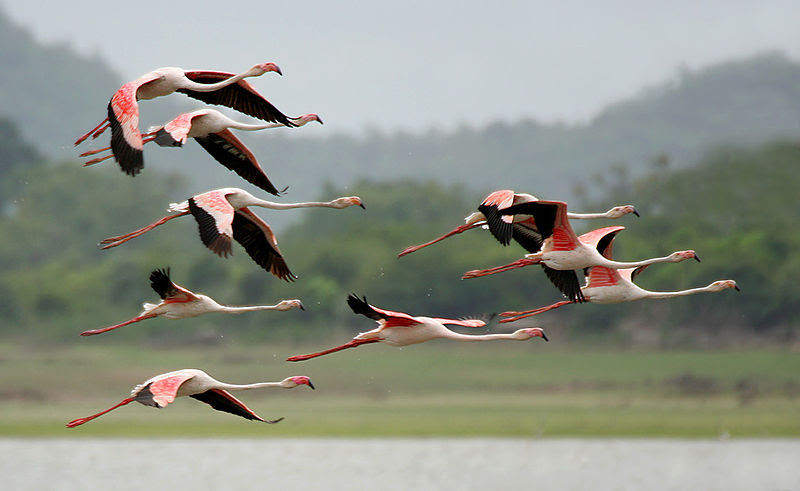 File:Greater Flamingoes (Phoenicopterus roseus) after taking off W  IMG 9858.jpg