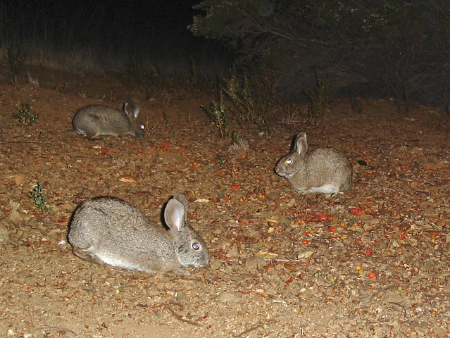 brush rabbits