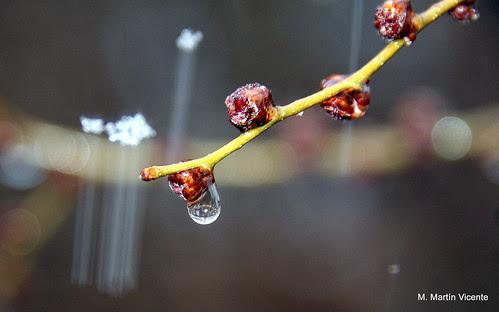 gotas de lluvia agarradas a unas ramas de un olmo pumilla