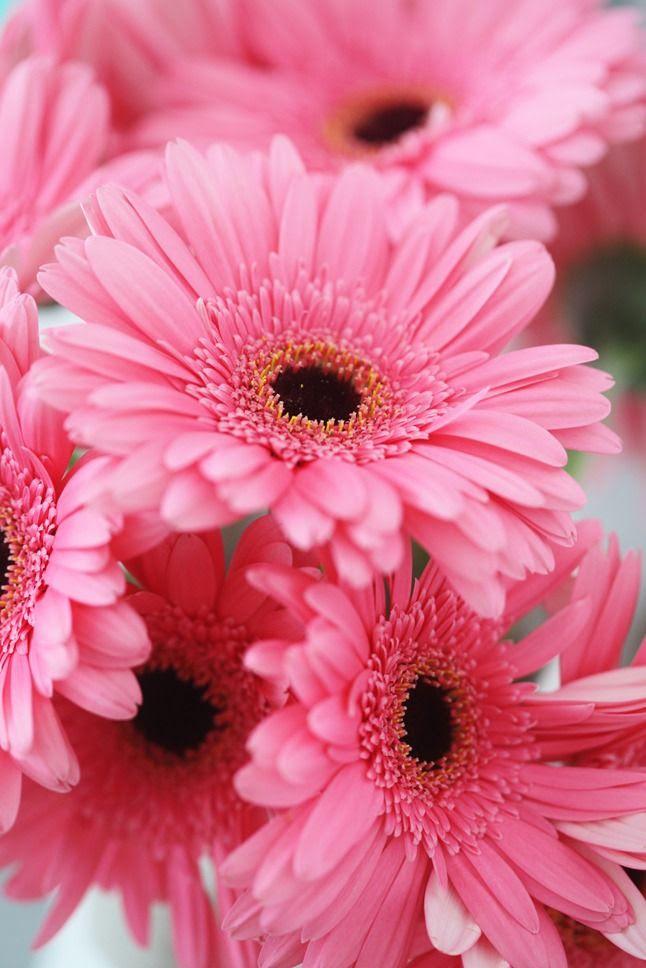 ベスト50 Iphone ピンク ガーベラ 待ち受け 最高の花の画像