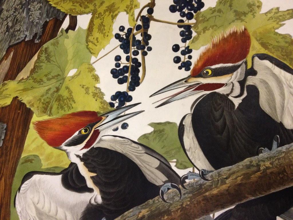 audubon birds with red hair