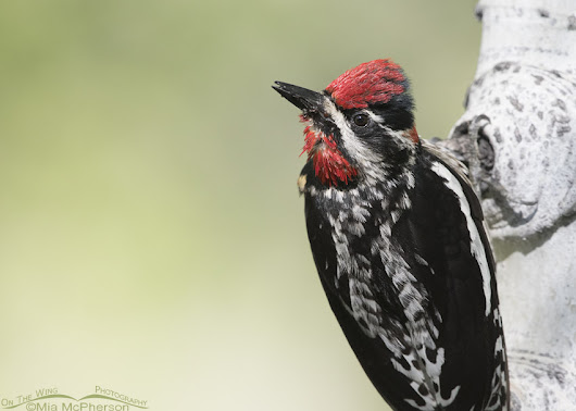 Female Red-naped Sapsucker With a Bill Full of Ants