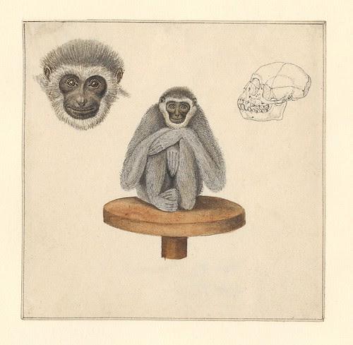 sketch of a gibbon