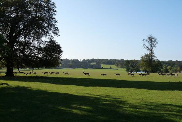25208 - Fallow Deer, Holkham Hall