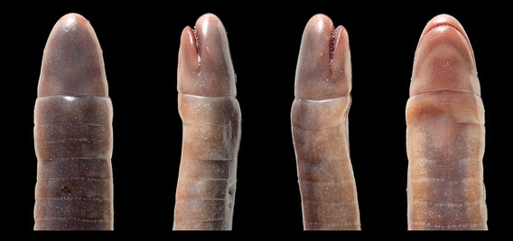 Microcaecilia dermatophaga sp. nov. in life.